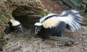 Striped Skunks by Tom Friedel