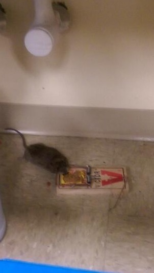 Norway rat caught after 3 nights of prebaiting